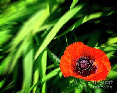 Photograph - The Poppy by Edmund Nagele