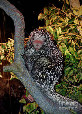 Photograph - The Porcupine  by Savannah Gibbs