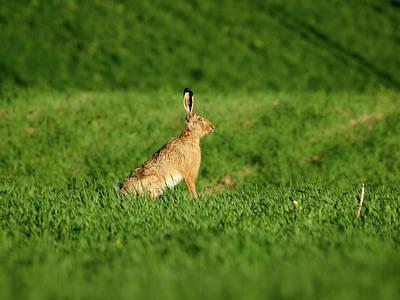 Photograph - The Pose. European Hare by Jouko Lehto