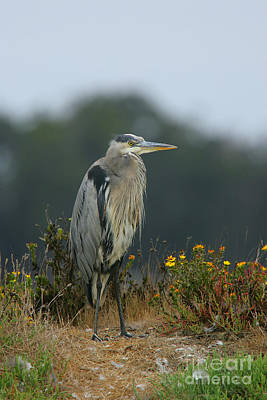 Photograph - The Poser - Blue Heron by Stan and Anne Foster