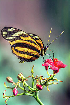 Photograph - The Postman Longwing  by Saija Lehtonen