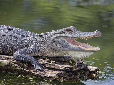 Gator Photograph - The Power Of Vulnerability  by Betsy Knapp