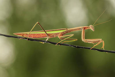 Photograph - The Praying Mantis And The Antenna by Joni Eskridge
