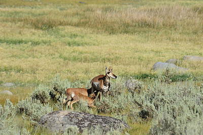 Photograph - The Pronghorn Family At Dinner by Yeates Photography