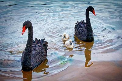 Photograph - The Protectors, Black Swans And Cygnets by Flying Z Photography by Zayne Diamond