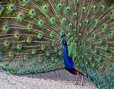 Photograph - The Proud Peacock by Thanh Thuy Nguyen