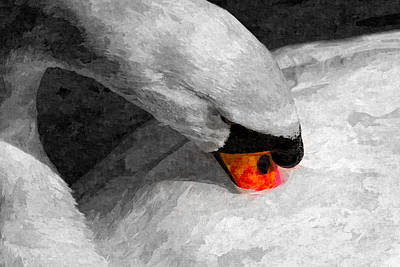 Photograph - The Proud Swan Art by David Pyatt