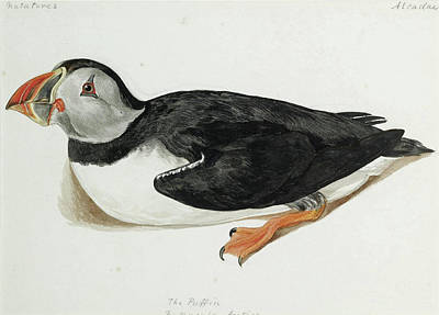 Drawing - The Puffin. Fratercula Arctica by Jemima Blackburn