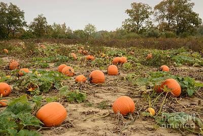 Photograph - The Pumpkin Farm Three by Charles Owens