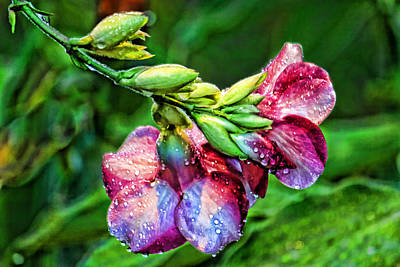 Photograph - The Purple Allamanda Too by HH Photography of Florida