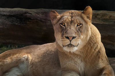 The Queen - A Lioness Watches You Art Print by Mitch Spence