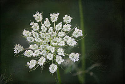 Daucus Carota Photograph - The Queens Lace by Teresa Mucha