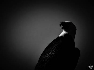 Photograph - The Raptors, No. 43 by Elie Wolf