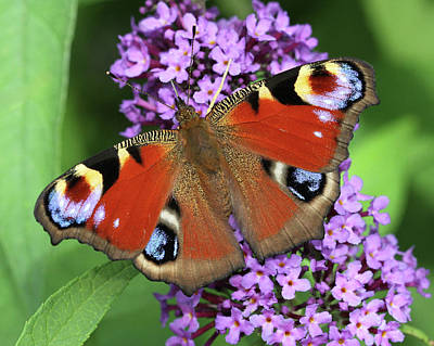 Photograph - The Rare Peacock Butterfly by Doris Potter