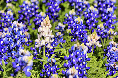 Photograph - The Rare White Bluebonnet by JC Findley