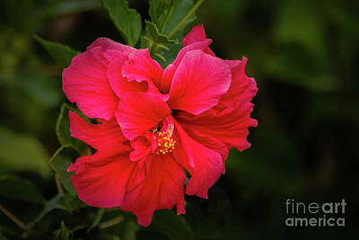 Photograph -  The Red Double Hibiscus by Robert Bales