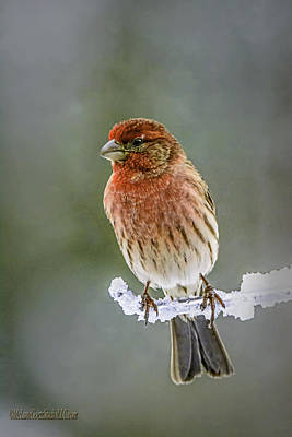 The Red Finch Art Print