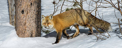 Photograph - The Red Fox by Yeates Photography