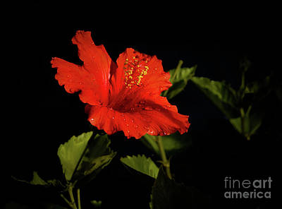 The Red Hibiscus Art Print