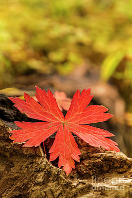 Photograph - The Red Leaf by Ronda Kimbrow
