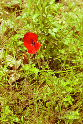 Photograph - The Lone Red Poppy by Donna L Munro