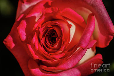 Photograph - The Red Rose by Robert Bales