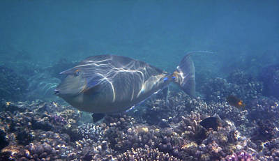 Photograph - The Red Sea Bluespine Unicornfish Closeup by Johanna Hurmerinta
