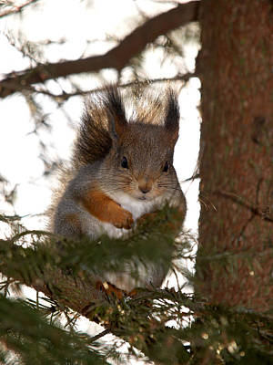 Firefighter Patents Royalty Free Images - The Red Squirrel 2 Royalty-Free Image by Jouko Lehto