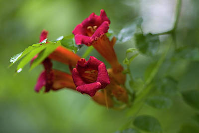 Photograph - The Red Trumpet by Kathy Clark