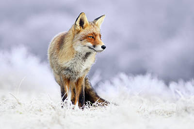 The Red, White And Blue _ Red Fox In The Winter Art Print by Roeselien Raimond