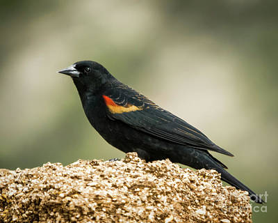 Photograph - The Red-winged Black Bird by Janice Rae Pariza