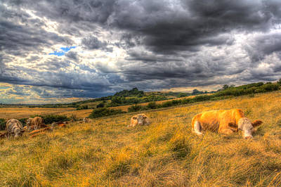 Photograph - The Resting Cows by David Pyatt
