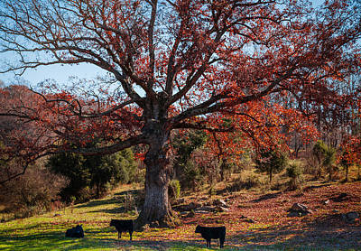 Red Angus Cow Photograph - The Resting Tree by Karen Wiles