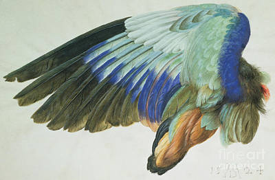 Vellum Painting - The Right Wing Of A Blue Roller by Albrecht Durer