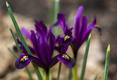 Photograph - The Rise Of The Early Royal Dwarf Iris by Dan Hefle