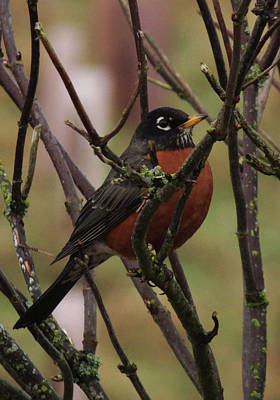 Photograph - The Robin by I'ina Van Lawick