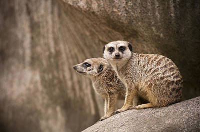 The Rock Of Meerkats Art Print by Chad Davis