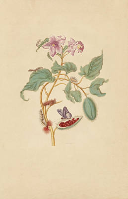 Flower Painting - The Rocu Tree With Caterpillars Moths And Butterflies by Maria Sibylla Merian