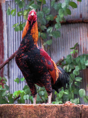 Photograph - The Rooster by Depdc