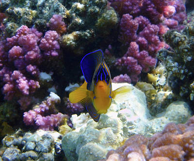 Photograph - The Royal Angelfish by Johanna Hurmerinta