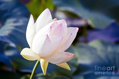 Photograph - The Sacred Lotus by Sharon Mau