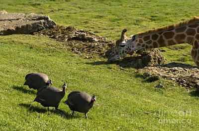 Guineafowl Photograph - the Safari park by Angel  Tarantella
