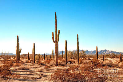 Photograph - The Saguaro Golden Hour by Robert Bales