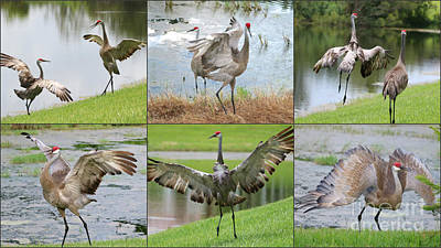 Photograph - The Sandhill Crane Show by Carol Groenen
