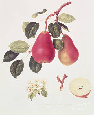 Pears Painting - The Scarlet Beurree Pear, 1819  by William Hooker