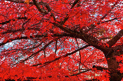 Fall Foliage Photograph - The Scarlet Oak Tree by David Patterson