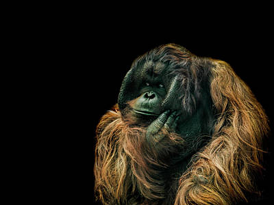 Orangutan Photograph - The Sceptic by Paul Neville