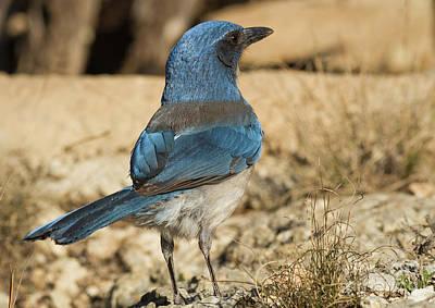 Photograph - The Scrub Jay by David Cutts