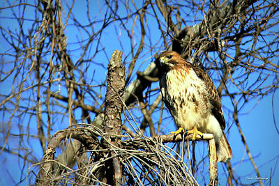 Photograph - The Search Red Tail Hawk Art by Reid Callaway