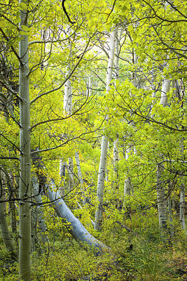 Photograph - The Secret Lives Of Aspens by Joe Doherty